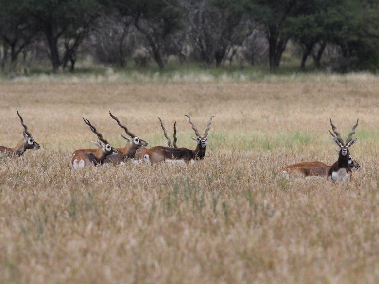 antelope 5